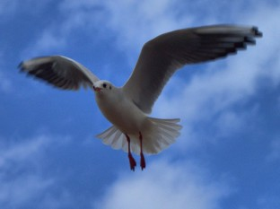 Landing Gull by Tracy Standring