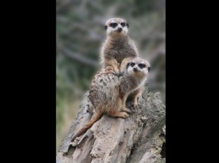 Compare the meercat.com by Tracy Standring