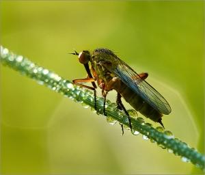 Eric M Ladbury ~ Empid Fly [empis stercorea]