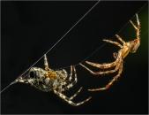 Eric M Ladbury ~ Male attacking female Cross Spider