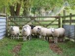 Graham Bostock ~ Are Ewe Looking at Me