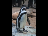 Graham Porter ~ Humboldt Penguin
