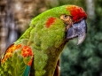 Paul McLaughlin ~ Red-Fronted Macaw