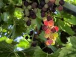 Paul McLaughlin ~ Sunshine through the Vine
