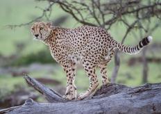 Mr Cheetah