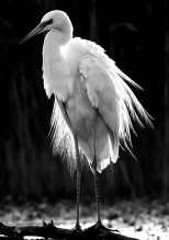 Robert Cave ~ Great White Egret