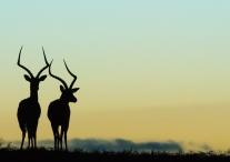 Robert Cave ~ Impala Dawn