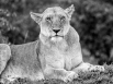 Marsh pride lioness 2