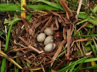 Vic McClymont ~ Coots nest and baby